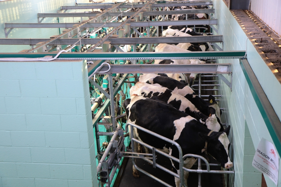 Cows in dairy being milked